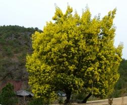 Mimosa (folk village, Yunnan)