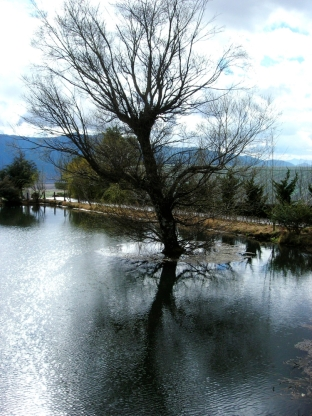 Tree in lake (Yunnan)