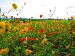farm flowers in Hokkaido
