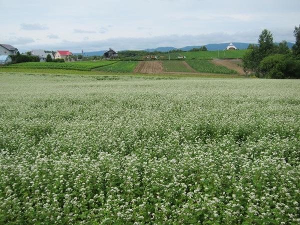 Potato flowers Hokkaido