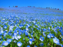 baby blue hill, Hitachi Seaside park