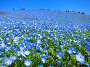 baby blue hill, Hitachi Seaside park