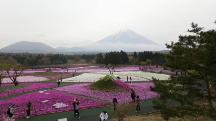 Shibazakura (Mt Fuji)
