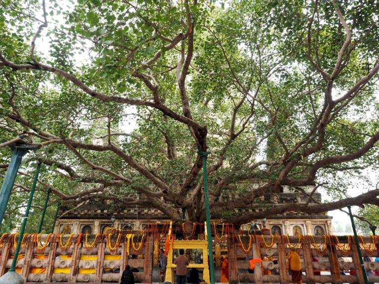 bodhi-tree-1.jpg
