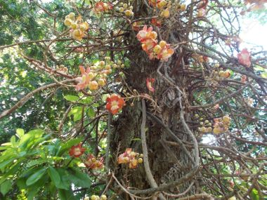 cannonball-tree-also-called-the-sala-tree-or-ayauma-tree-the-flowers-grow-directly-from-the-trunk-of