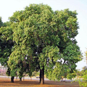 jamun tree1