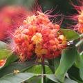 Sita-Ashok_(Saraca_asoca)_flowers_in_Kolkata_W_IMG_4146
