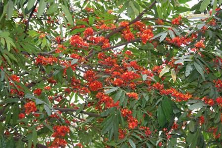 Sita-Ashok_(Saraca_asoca)_leaves_&_flowers_in_Kolkata_W_IMG_4175