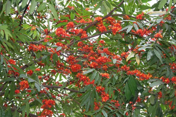 Sita-Ashok_(Saraca_asoca)_leaves_&_flowers_in_Kolkata_W_IMG_4175